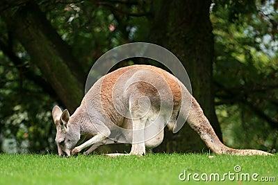 Canguru vermelho