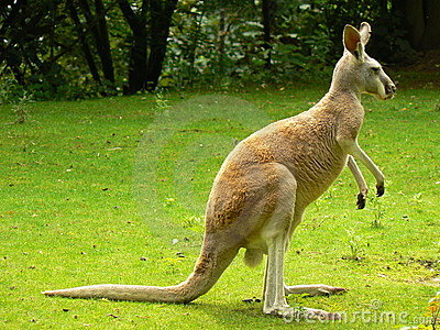 Canguru vermelho (rufus do Macropus)
