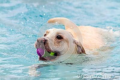 Cani che nuotano nella piscina pubblica fotografia stock for Piscina x cani milano