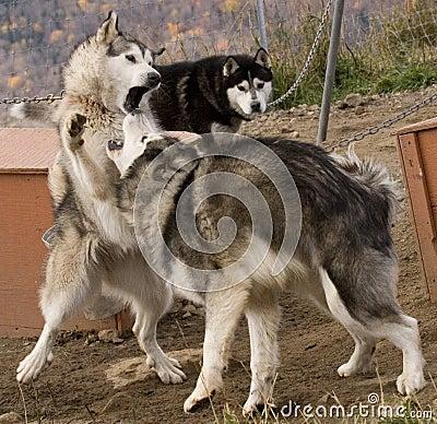 Cani eschimesi fotografia stock immagine 3482982 - Animali in inverno clipart ...