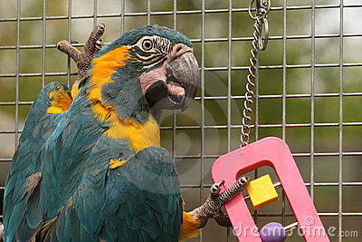 Caninde Macaw Parrot Playing