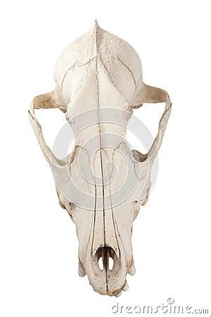 Canine dog skull
