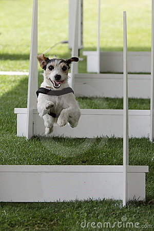 Canine flyball