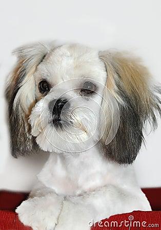 Canine Shih Tzu