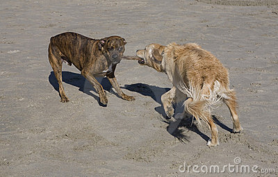 Canine tug-of-war