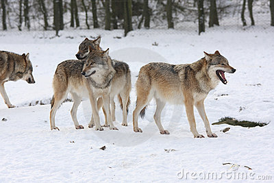 Canis lupus wolfes