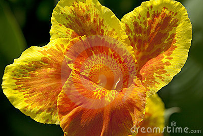 Canna flower close up