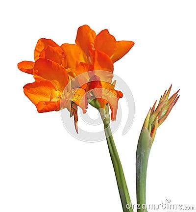 Canna lilja