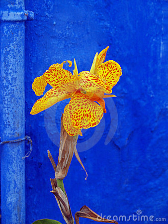 Canna Lily On Blue