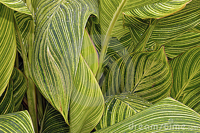 Canna Tropicanna Lily