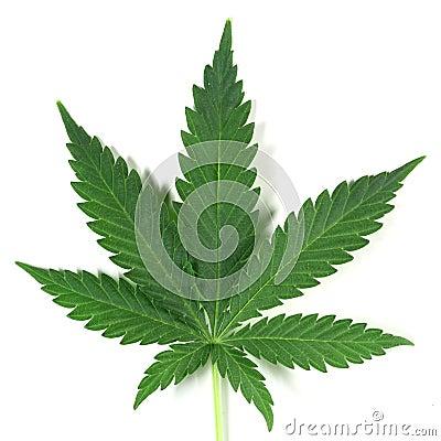 Free Cannabis Royalty Free Stock Photo - 5043205