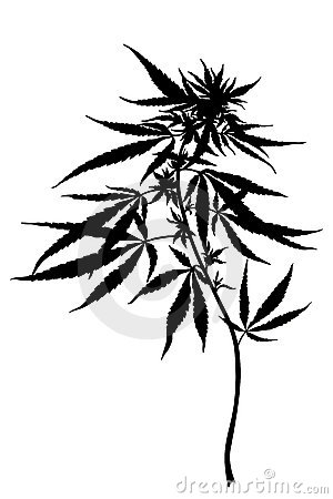 Free Cannabis Sativa Plant Royalty Free Stock Photo - 20275835