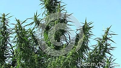 Cannabis voor de onwettige cultuur van marihuana, stock footage