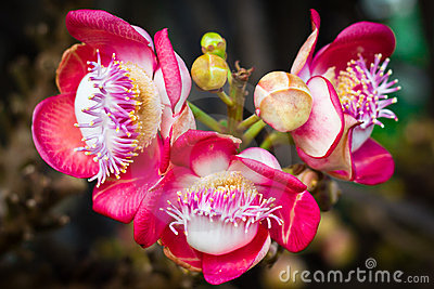 Cannonball tree flower (Couroupita guianensis)