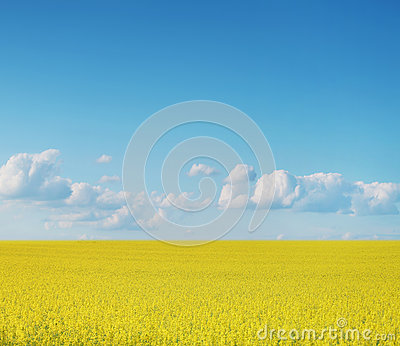 Canola crops on blue sky