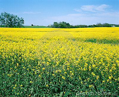 Canola Farm Field, Saskatchewan Canada