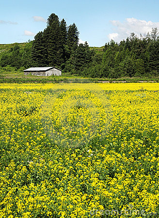 Free Canola Field Stock Images - 20535574