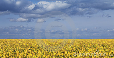 Canola field and cloudy sky
