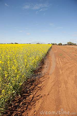 Canola Field and Dirt Track