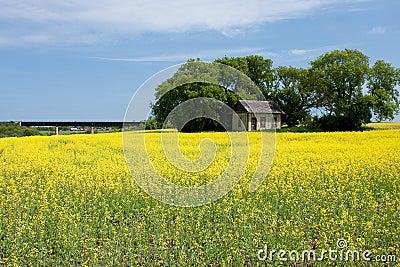 Canola Field with Old Farm House