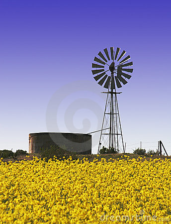 Canola fields with windmill