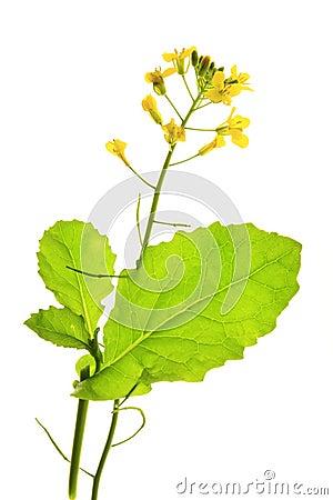 Free Canola Plant (Brassica Napus) Royalty Free Stock Photos - 26388428