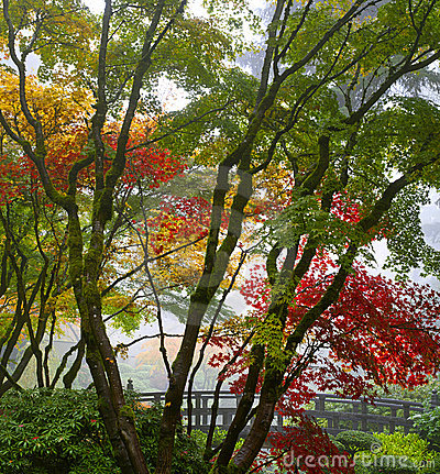 Canopy of Japanese Maple Trees in the Fall 3