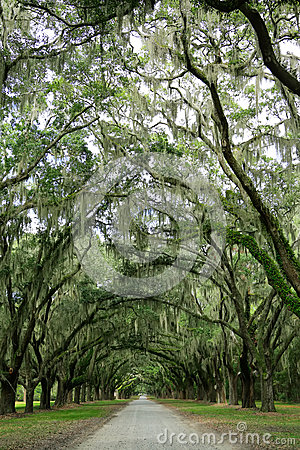 Free Canopy Of Oak Trees Covered In Moss. Isle Of Hope, Stock Photos - 44409423