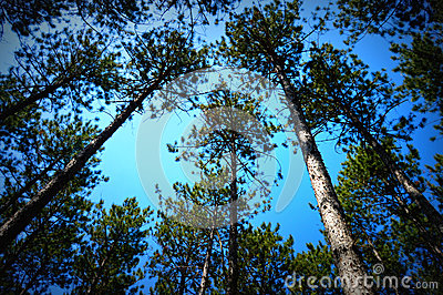 Canopy of Pine Trees Stock Photo