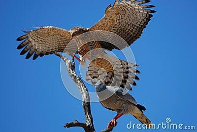 Canorus歌颂苍白苍鹰的melierax