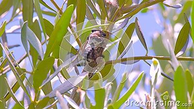 Cantando cigarra com folhas de oliveira sobre fundo Cicadídeos no tronco da árvore Flora da Europa Pequenos cicadídeos Macro video estoque