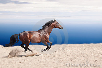 Cantering bay stallion