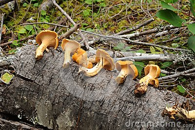 Cantharellus Cibarius Royalty Free Stock Photography - Image: 17685217