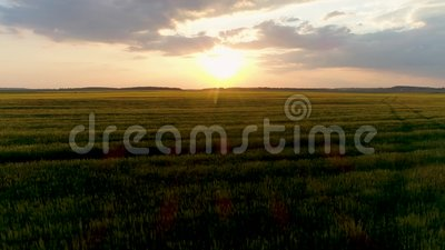 cantidad aérea del abejón 4k Mosca sobre campo de trigo en la puesta del sol Tiro del carro metrajes