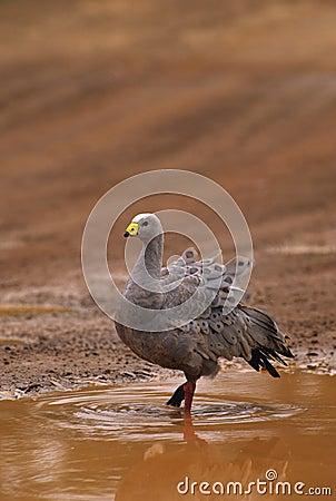 Free Cape Barren Goose Stock Image - 11191381