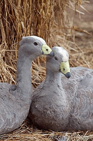 Free Cape Barren Goose Royalty Free Stock Photography - 18937207