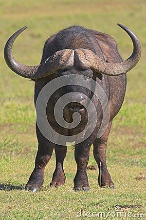 Free Cape Buffalo Royalty Free Stock Photos - 647668