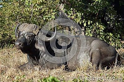 Cape Buffalo wild in Africa