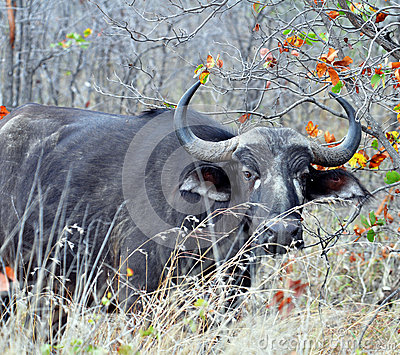 Cape Buffalo wild in Africa