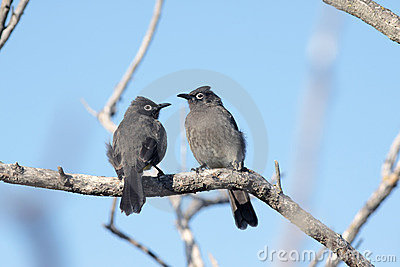 Cape bulbuls