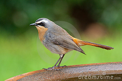 Cape chat robin adult male
