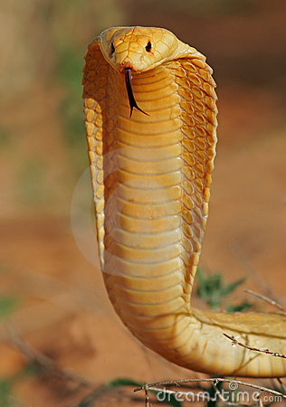 Free Cape Cobra Royalty Free Stock Image - 823946