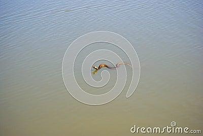 Cape Cobra Swimming in a Dam