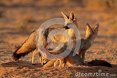 Cape fox family