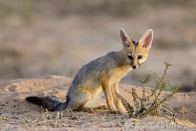 Cape fox, Kalahari desert