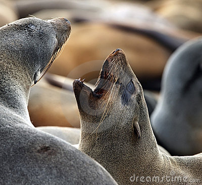 Cape Fur Seal - Cape Cross - Namibia