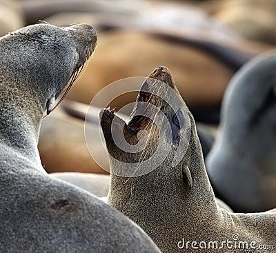 Cape Fur Seal - Cape Cross - Namibia