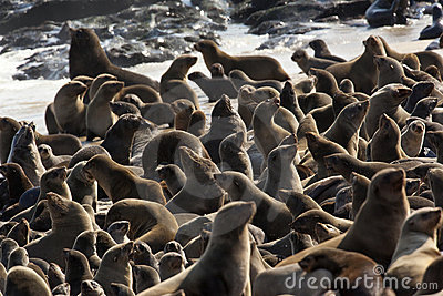 Cape Fur Seal Colony in Namibia