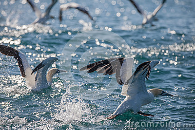 Cape Gannets takeoff from water
