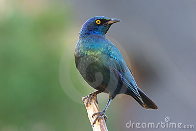 Cape glossy starling adult male